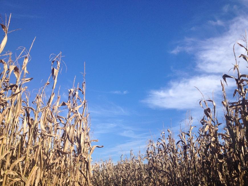 Corn Mase - Fall 2014